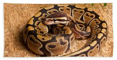 Ball Python Python Regius Coiled On Rock Beach Towel by David Kenny