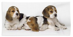 Beagle Puppies, Row Of Three, Second Beach Towel