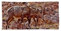 Beach Sheet featuring the photograph Bighorn Canyon Sheep Trio by Janice Rae Pariza