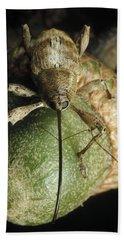 Black Oak Acorn Weevil On Acorn Beach Towel by Mark Moffett