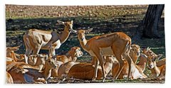 Blackbuck Female And Fawns Beach Towel by Miroslava Jurcik