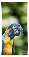 Blue And Gold Macaw V2 Beach Towel by Douglas Barnard