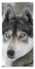 Blue Eyes Husky Dog Beach Towel by iPics Photography