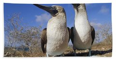Blue-footed Booby Courting Couple Beach Sheet by Tui De Roy