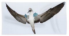 Blue-footed Booby Landing Galapagos Beach Sheet by Tui De Roy
