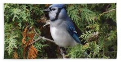 Beach Towel featuring the photograph Blue Jay In Cedar Tree 2 by Brenda Brown