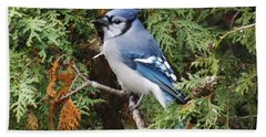 Beach Towel featuring the photograph Blue Jay In Cedar Tree by Brenda Brown