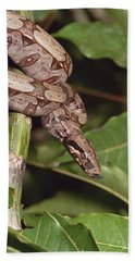 Boa Constrictor Coiled South America Beach Towel by Gerry Ellis