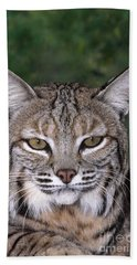 Beach Towel featuring the photograph Bobcat Portrait Wildlife Rescue by Dave Welling