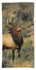 Beach Towel featuring the photograph Bull Elk In Rut Bugling Yellowstone Wyoming Wildlife by Dave Welling