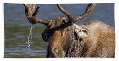 Bull Moose Sampling The Vegetation Beach Towel by Jack Bell
