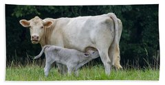 Charolais Cattle Nursing Young Beach Sheet by Chris Flees