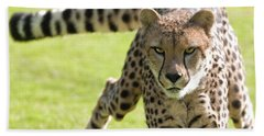 cheetah Running Portrait Beach Sheet
