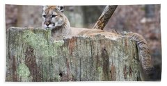 Cougar On A Stump Beach Sheet by Chris Flees