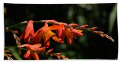 Crocosmia 'dusky Maiden' Flowers Beach Sheet