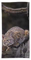 Beach Towel featuring the photograph Crouching Bobcat Montana Wildlife by Dave Welling