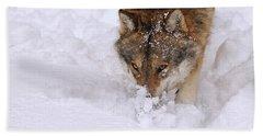 European Wolf Hunting Beach Towel
