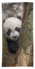 Beach Towel featuring the photograph Giant Panda Cub Bifengxia Panda Base by Katherine Feng