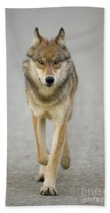 Gray Wolf Denali National Park Alaska Beach Towel