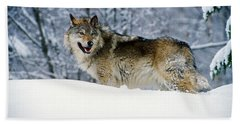 Gray Wolf In Snow, Montana, Usa Beach Towel