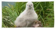 Grey-headed Albatross Chick Beach Sheet by Yva Momatiuk John Eastcott