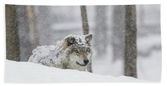 Grey Wolf  Canis Lupus  During A Snow Beach Towel