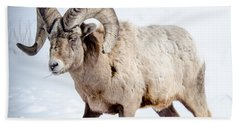 Big Horns On This Big Horn Sheep Beach Towel
