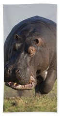 Beach Towel featuring the photograph Hippopotamus Bull Charging Botswana by Vincent Grafhorst