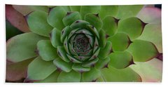 Houseleek Sempervivum Beach Sheet
