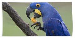 Hyacinth Macaw Feeding On Palm Nut Beach Towel
