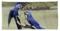 Hyacinth Macaw Pair Fighting Pantanal Beach Towel