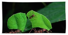Leafcutter Ant Atta Sp Group Workers Beach Towel by Michael and Patricia Fogden