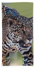 Jaguar Walking Portrait Beach Sheet