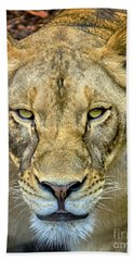 Lion Closeup Beach Towel by David Millenheft