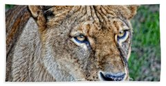 Lioness Deep In Thought Hdr Beach Towel