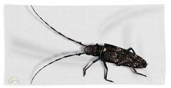 Long-hornded Wood Boring Beetle Monochamus Sartor - Coleoptere Monochame Tailleur - Beach Sheet