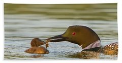 Loon Feeding Chick Beach Towel