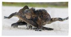 Marine Iguana Males Fighting Turtle Bay Beach Towel
