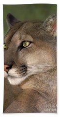 Beach Towel featuring the photograph Mountain Lion Portrait Wildlife Rescue by Dave Welling