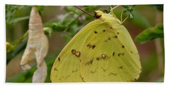 Beach Towel featuring the photograph Newly Emerged Cloudless Sulphur Butterfly With Chrysalis In Background by Daniel Reed