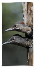 Northern Flicker Chicks In Nest Cavity Beach Towel