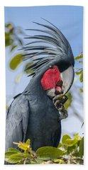 Palm Cockatoo Male Feeding On Nonda Beach Towel