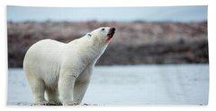Polar Bears Feeding On Harbour Islands Beach Towel