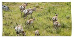 Beach Towel featuring the photograph Pronghorn Antelope In Lamar Valley by Belinda Greb