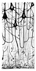 Pyramidal Cells Illustrated By Cajal Beach Sheet by Science Source