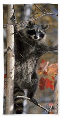 Beach Towel featuring the photograph Racoon In Tree by Chris Scroggins