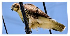 Redtailed Hawk Beach Towel