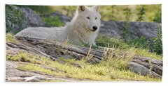 Beach Towel featuring the photograph Resting Arctic Wolf by Wolves Only