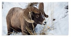 Rocky Mountain Bighorn Sheep Beach Sheet