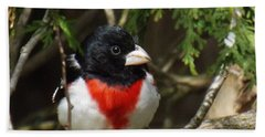 Rose Breasted Grosbeak Perched Beach Towel